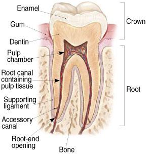 Endodontic_treatment